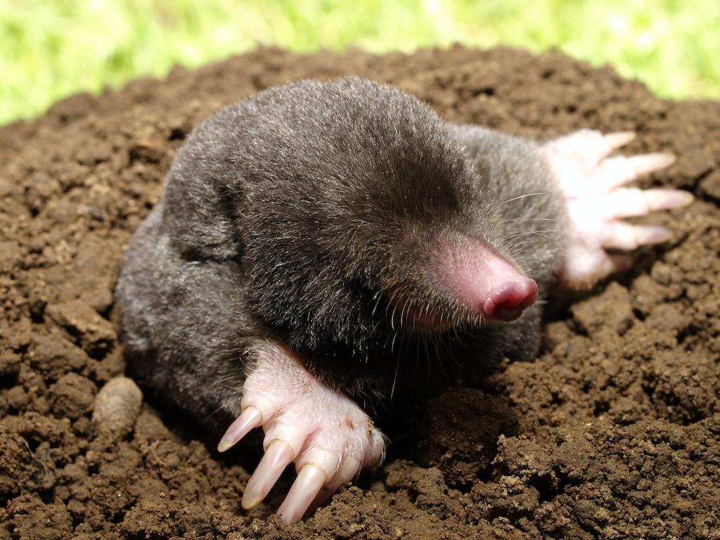 モグラ:庭土のなかで暮らし、家...